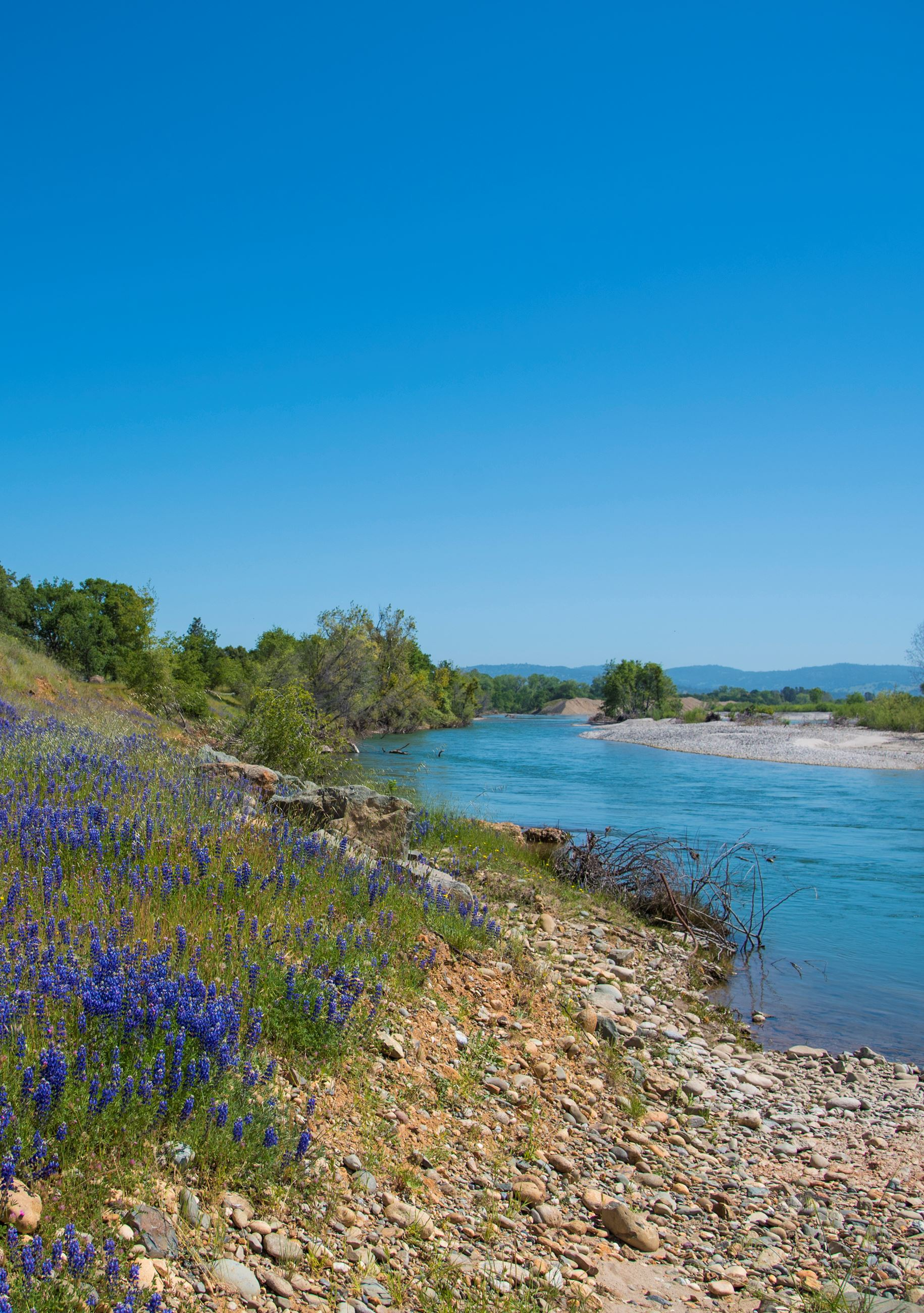 Lower Yuba River with lupines on the bank
