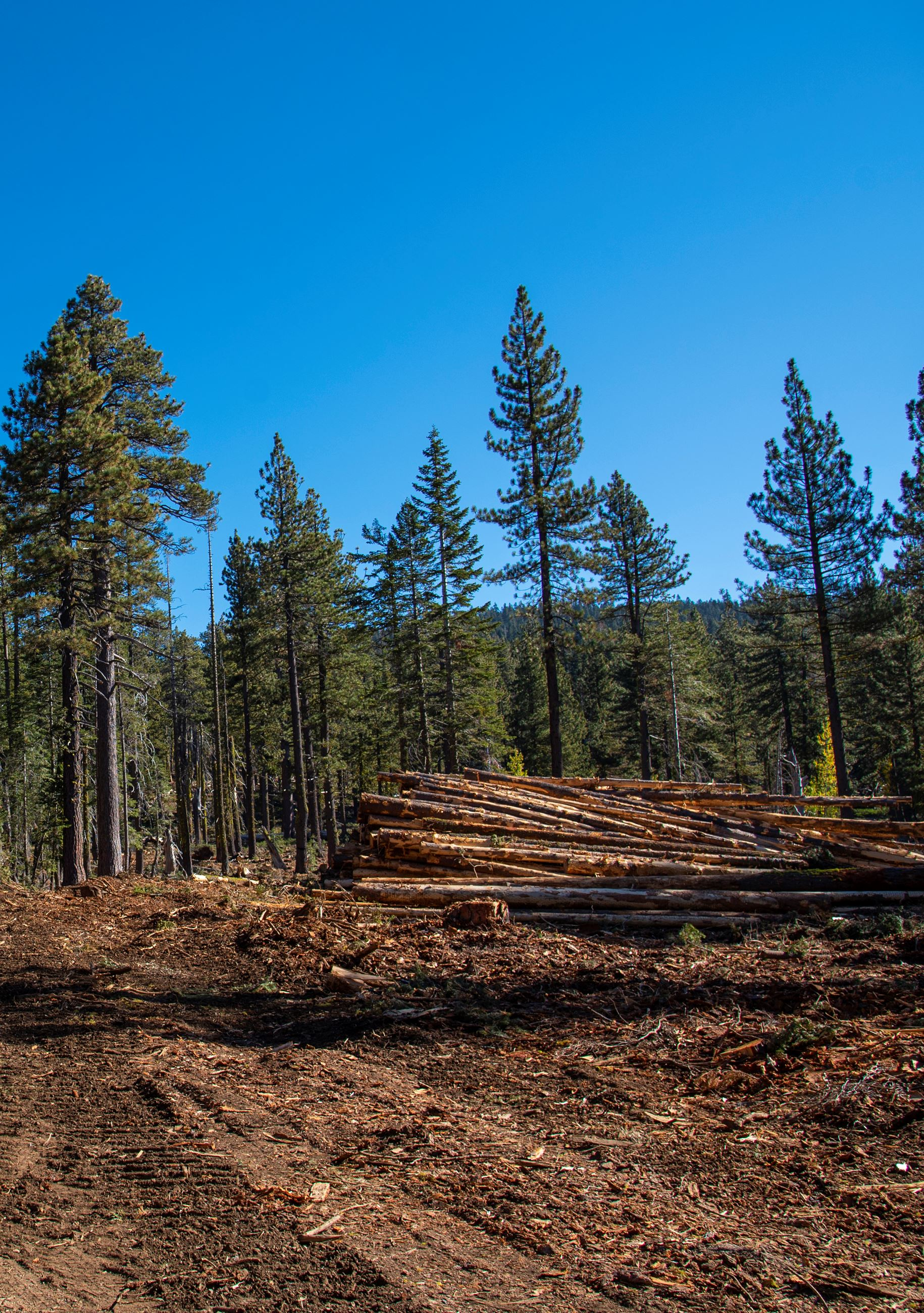 A pile of cut down trees lays on the ground in front a a group of large standing trees.